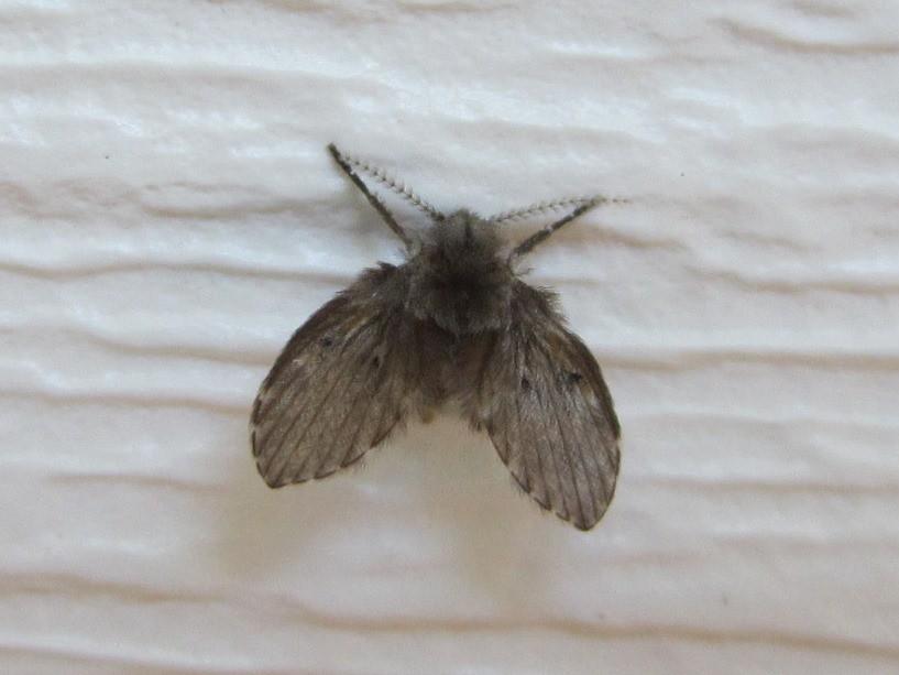 יתוש עש